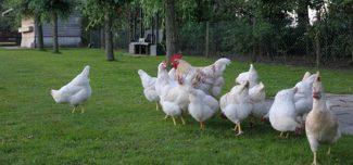 Met de kippen naar de Maasheggen